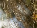 Water droplets on dead twigs